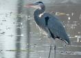 Great Blue Heron (GBHE) Management Team