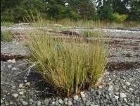 Invasive Species – Spartina.ca